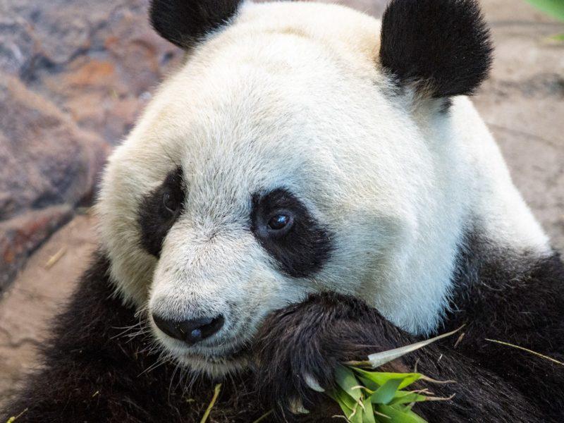 Panda Ähtäri zoo
