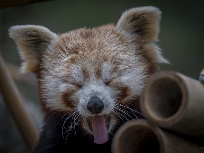 Ähtäri zoo pikkupanda Kuva: StudioArt4you