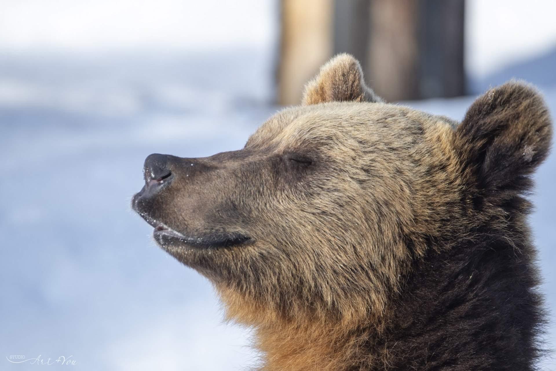 Ähtäri zoo karhu Kuva: StudioArt4you